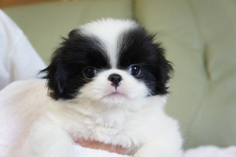 狆の子犬の写真