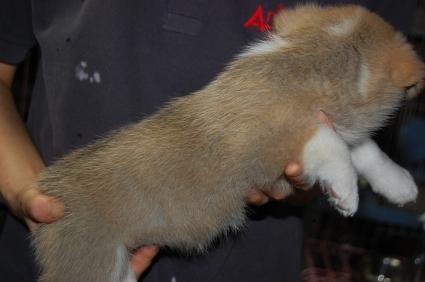 ウェルシュコーギーペンブロークの子犬の写真200906205-2