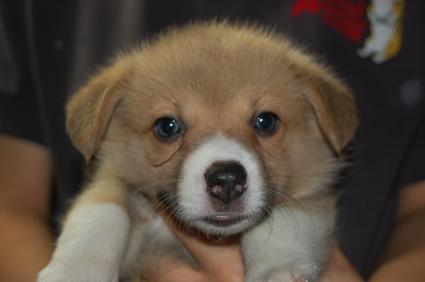 ウェルシュコーギーペンブロークの子犬の写真200906206