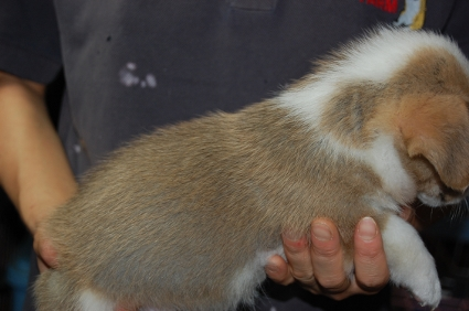 ウェルシュコーギーペンブロークのオス1頭目の子犬の側面写真