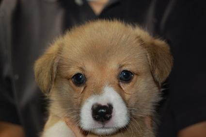 ウェルシュコーギーペンブロークのオス2頭目の子犬の写真