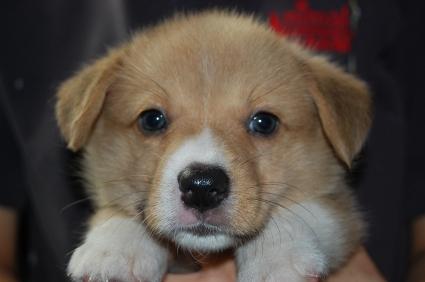 ウェルシュコーギーペンブロークのオス3頭目の子犬の写真