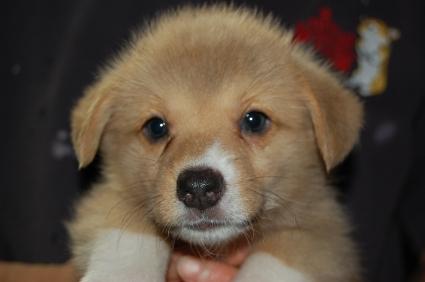 ウェルシュコーギーペンブロークの子犬の写真200906204