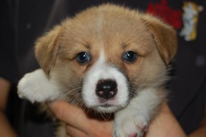 ウェルシュコーギーペンブロークの子犬の写真200906205
