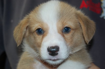 2009年6月20日産まれのウェルシュコーギーペンブローク子犬の写真