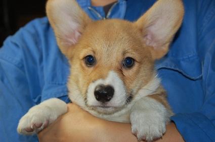ウェルシュコーギーペンブロークの子犬の写真200906202
