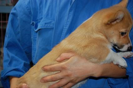 ウェルシュコーギーペンブロークの子犬の写真200906202-2
