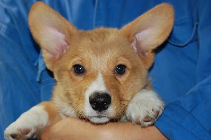 ウェルシュコーギーペンブロークの子犬の写真200906203