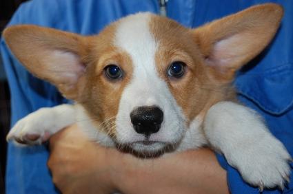 ウェルシュコーギーペンブロークの子犬の写真200906201