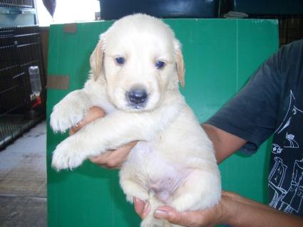 ゴールデンレトリバーの子犬の写真4