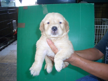 ゴールデンレトリバーの子犬の写真6