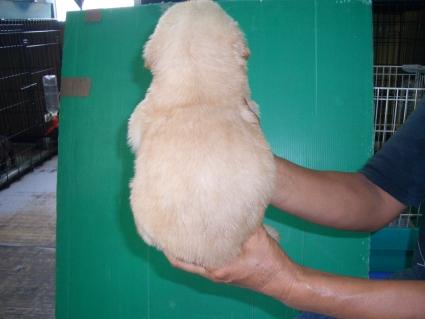 ゴールデンレトリバーの子犬の写真7