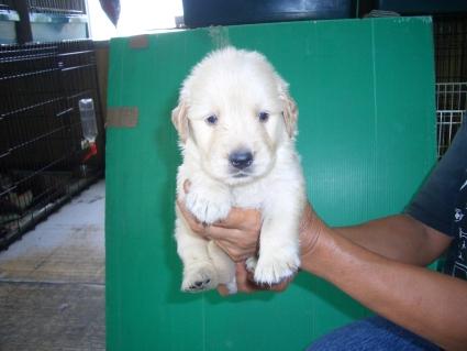 ゴールデンレトリバーの子犬の写真8