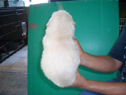 ゴールデンレトリバーの子犬の写真9