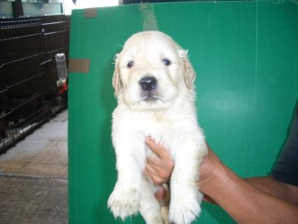 ゴールデンレトリバーの子犬の写真2