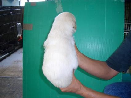 ゴールデンレトリバーの子犬の写真3