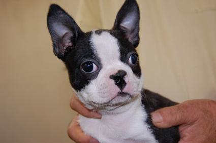 ボストンテリアの子犬の写真2