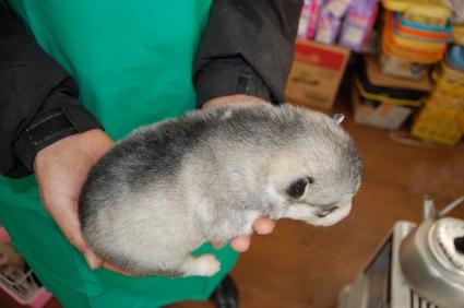 シベリアンハスキーの子犬の写真No.200812112-2