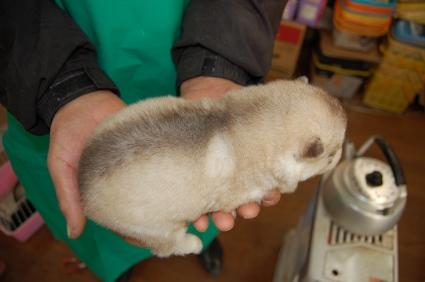 シベリアンハスキーの子犬の写真No.200812114-2