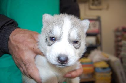 シベリアンハスキーの子犬の写真No.200812031