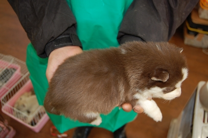 シベリアンハスキーの子犬の写真No.200812031-2