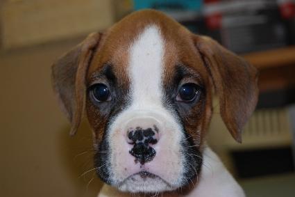 ボクサー犬の子犬の写真201005211