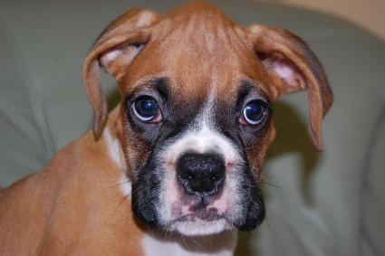 ボクサー犬の子犬の写真201005214
