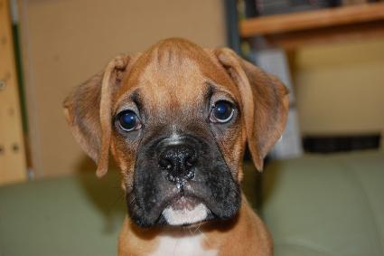 ボクサー犬の子犬の写真201005215