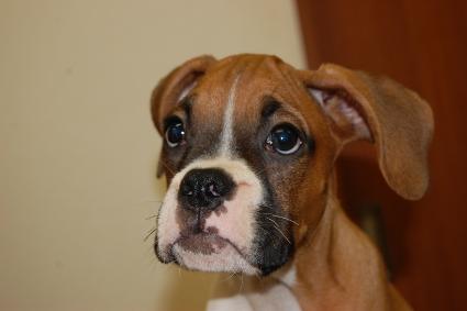 ボクサー犬の子犬の写真201005213