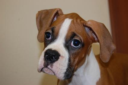 ボクサー犬の子犬の写真201005212