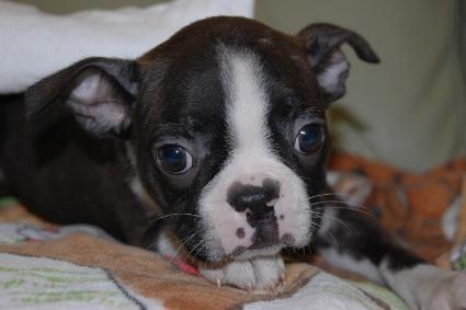ボストンテリアの子犬の写真No.201102083