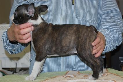 ボストンテリアの子犬の写真No.201102081-2