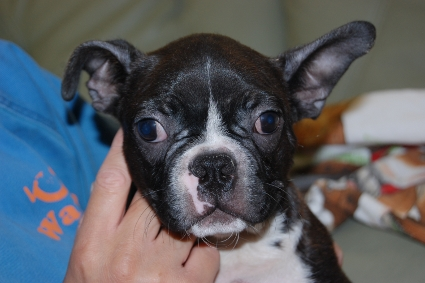 ボストンテリアの子犬の写真No.201102082