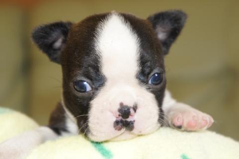 ボストンテリアの子犬の写真201302011