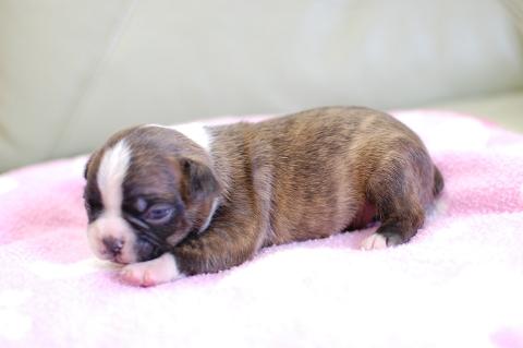 ボストンテリアの子犬の写真201308033-2