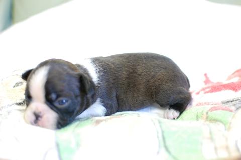ボストンテリアの子犬の写真201308035-2