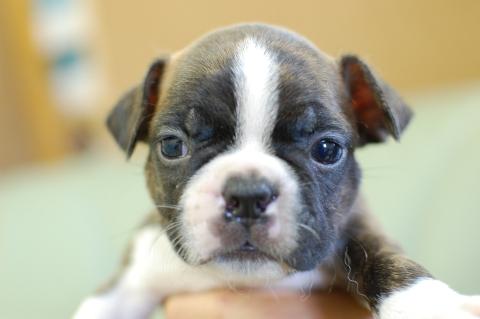 ボストンテリアの子犬の写真201308033