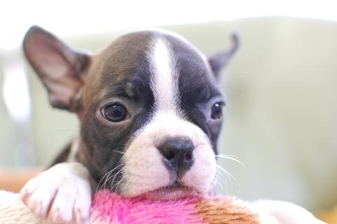 ボストンテリアの子犬の写真201308036