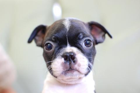 ボストンテリアの子犬の写真201308034