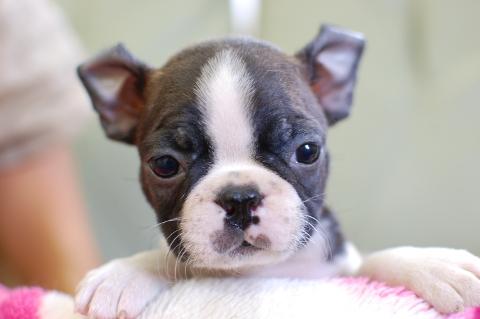 ボストンテリアの子犬の写真201308035