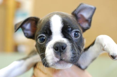 ボストンテリアの子犬の写真201308032
