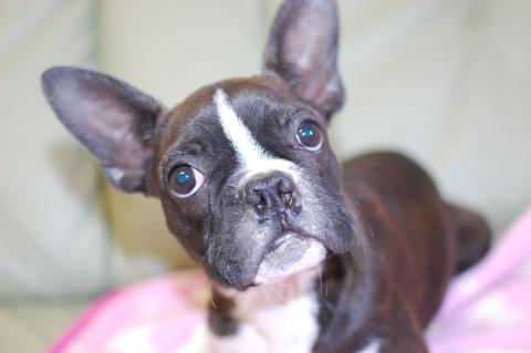 ボストンテリアの子犬の写真