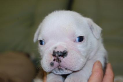2010年6月20日産まれのブルドッグ子犬の写真