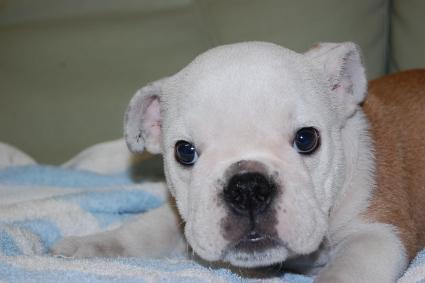 ブルドッグの子犬の写真No.201006201