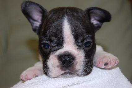 フレンチブルドッグの子犬の写真201005036