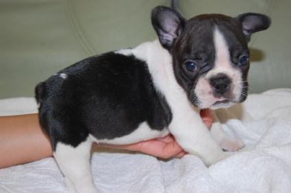 フレンチブルドッグの子犬の写真201005036-2