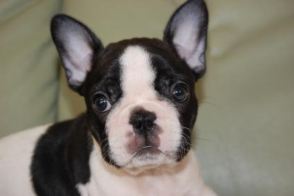 フレンチブルドッグの子犬の写真201005035