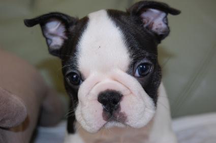 フレンチブルドッグの子犬の写真201005031