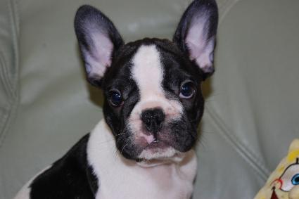 フレンチブルドッグの子犬の写真201005034