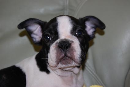 フレンチブルドッグの子犬の写真201005032